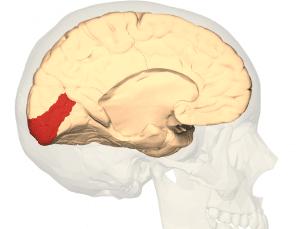 cortexul visual primar