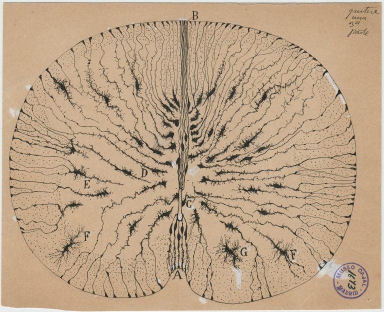 Creierul din perspectiva lui Ramon y Cajal