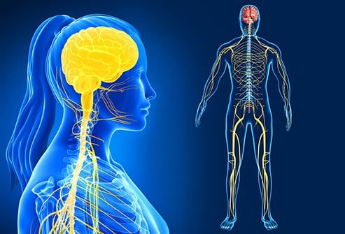Structura sistemului nervos
